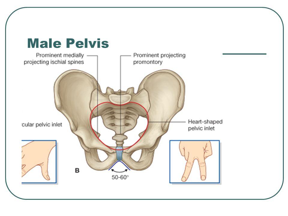 Male Pelvis