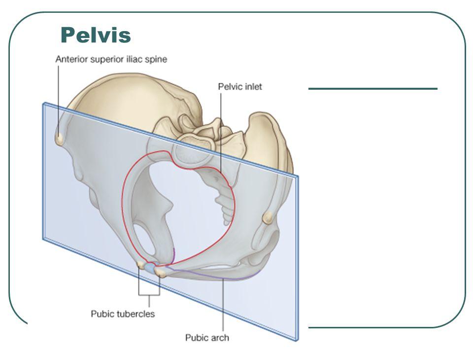 Pelvis