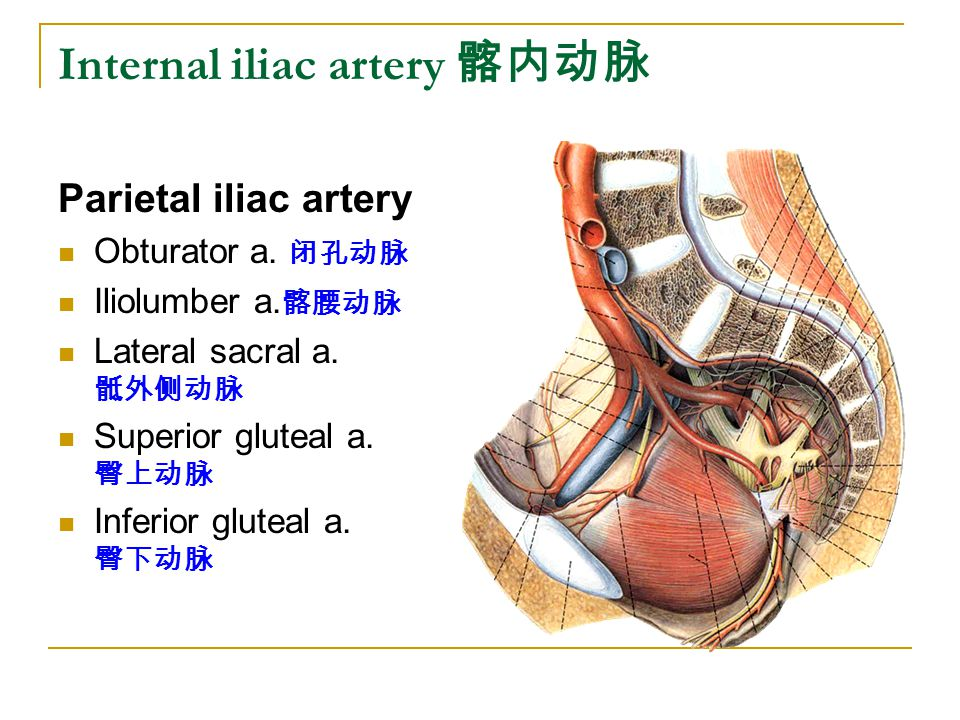 Internal iliac artery 髂内动脉