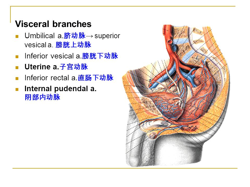 Visceral branches Umbilical a.脐动脉→ superior vesical a. 膀胱上动脉
