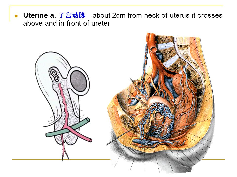 Uterine a. 子宫动脉—about 2cm from neck of uterus it crosses above and in front of ureter