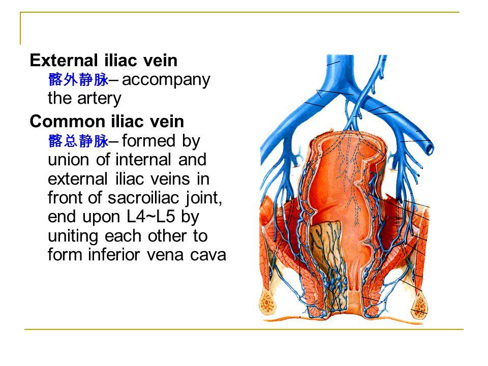 External iliac vein 髂外静脉– accompany the artery