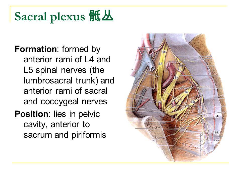Sacral plexus 骶丛