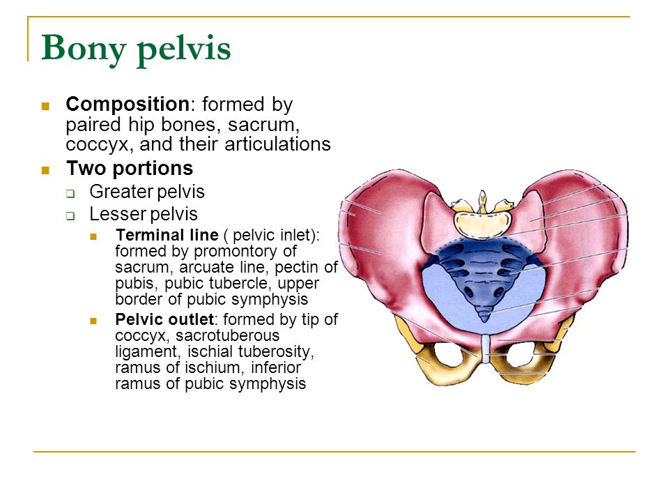 Bony pelvis Composition: formed by paired hip bones, sacrum, coccyx, and their articulations. Two portions.