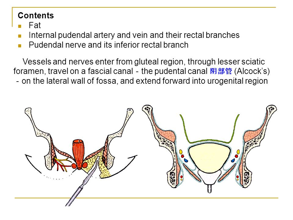 Contents Fat. Internal pudendal artery and vein and their rectal branches. Pudendal nerve and its inferior rectal branch.