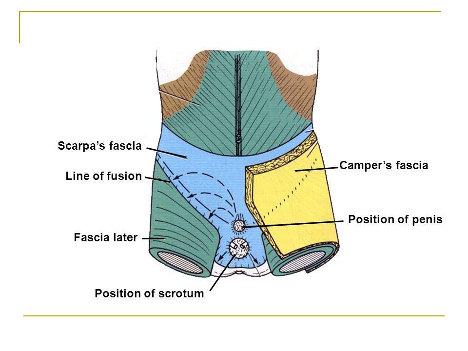 Scarpa's fascia Camper's fascia Line of fusion Position of penis Fascia later Position of scrotum