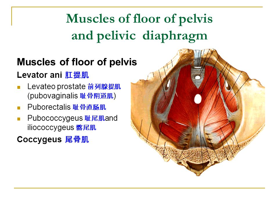 Muscles of floor of pelvis and pelivic diaphragm