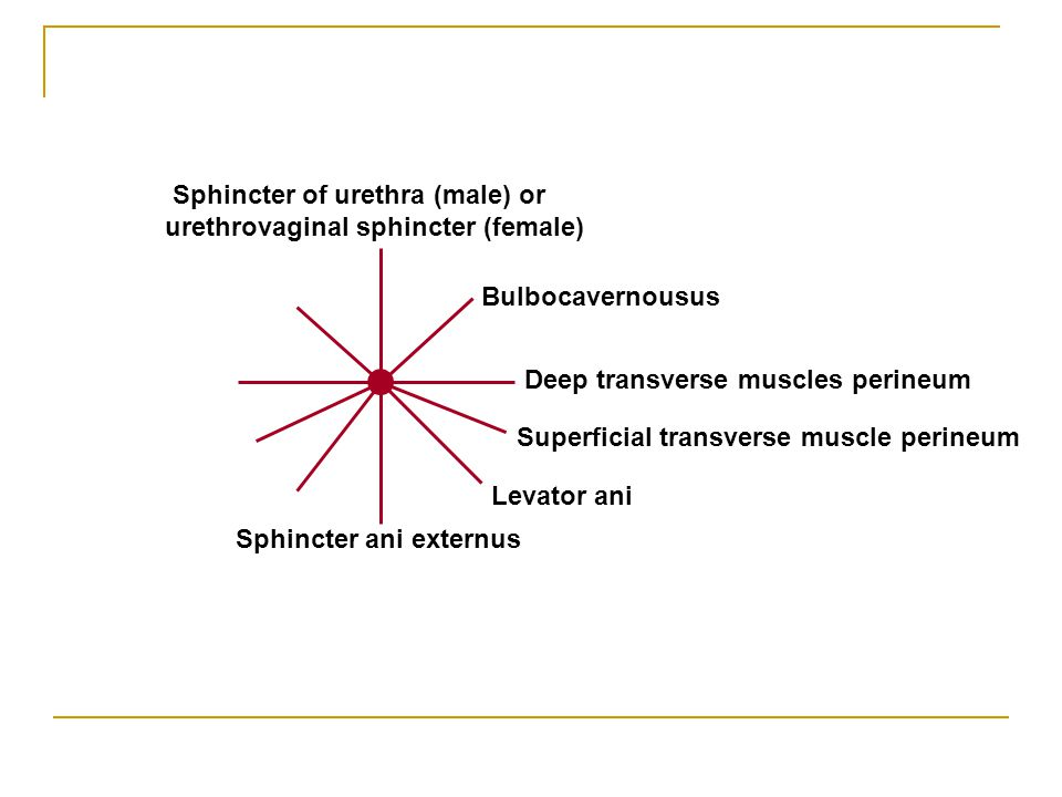 Sphincter of urethra (male) or