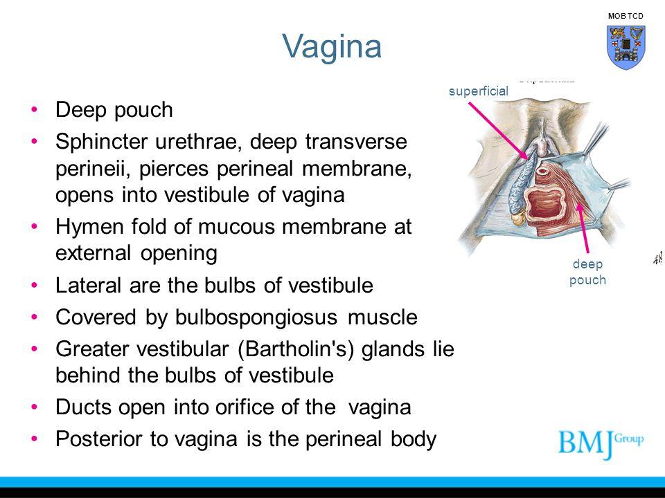 Vagina MOB TCD. superficial. Deep pouch. Sphincter urethrae, deep transverse perineii, pierces perineal membrane, opens into vestibule of vagina.