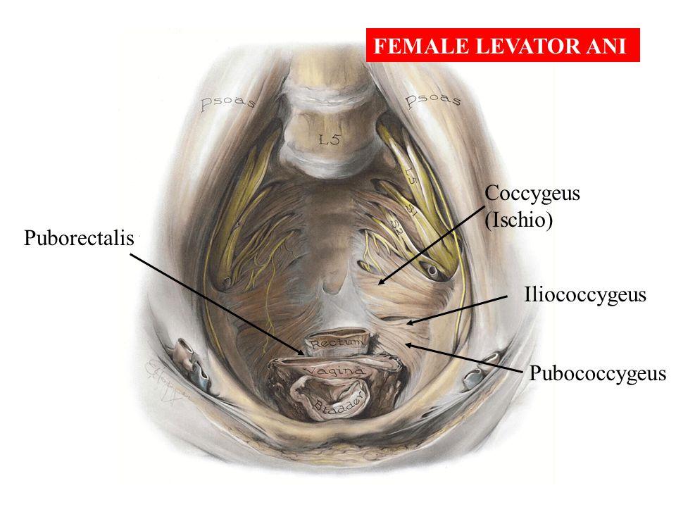 FEMALE LEVATOR ANI Coccygeus (Ischio) Puborectalis Iliococcygeus Pubococcygeus