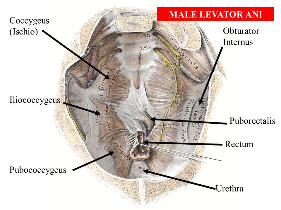MALE LEVATOR ANI Coccygeus. (Ischio) Obturator Internus. Iliococcygeus. Puborectalis. Rectum. Pubococcygeus.