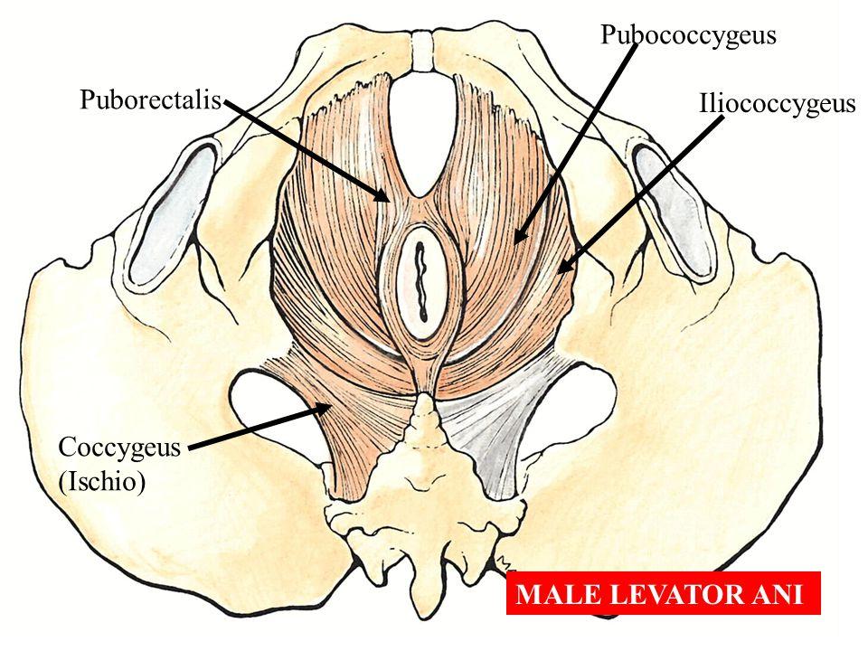 Pubococcygeus Puborectalis Iliococcygeus Coccygeus (Ischio) MALE LEVATOR ANI