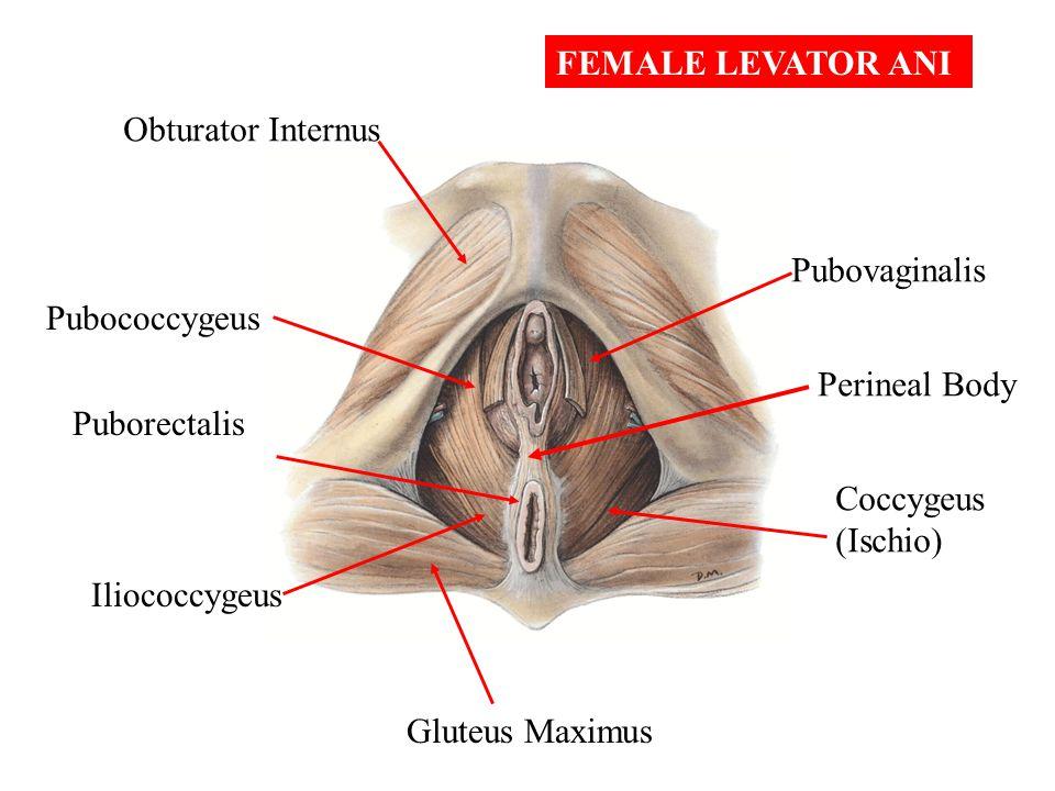 FEMALE LEVATOR ANI Obturator Internus. Pubovaginalis. Pubococcygeus. Perineal Body. Puborectalis.