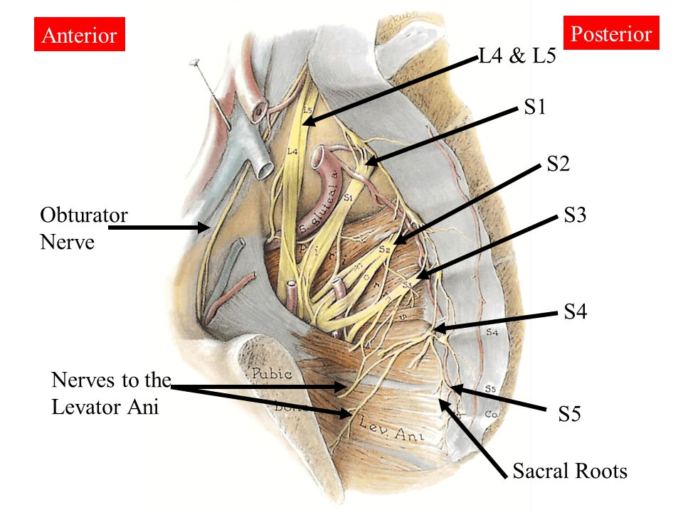 Anterior Posterior L4 & L5 S1 S2 Obturator Nerve S3 S4 Nerves to the Levator Ani S5 Sacral Roots