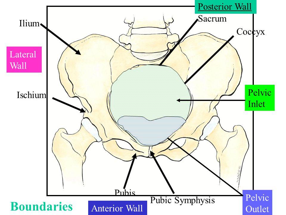 Boundaries Posterior Wall Sacrum Ilium Coccyx Lateral Wall Pelvic