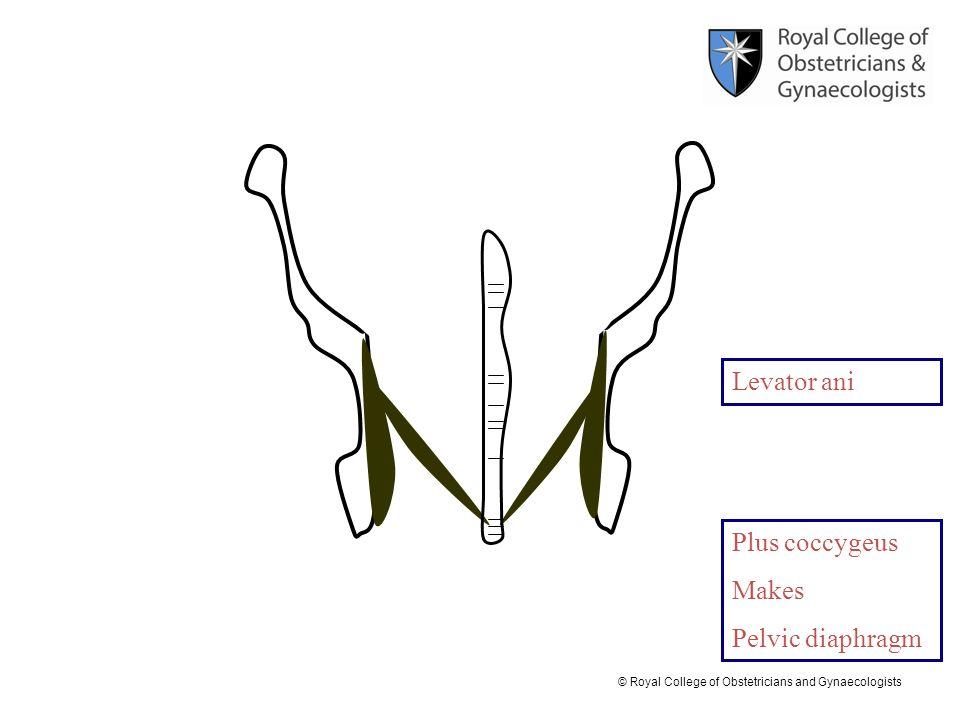 Levator ani Plus coccygeus Makes Pelvic diaphragm