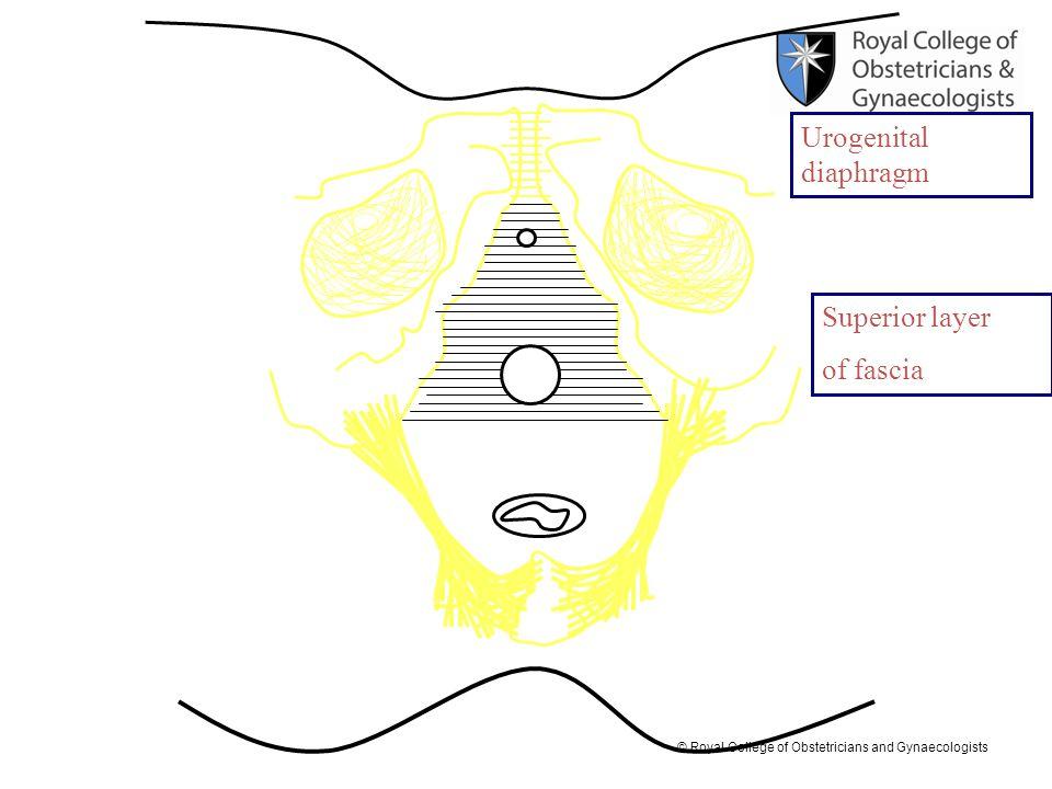 Urogenital diaphragm Superior layer of fascia
