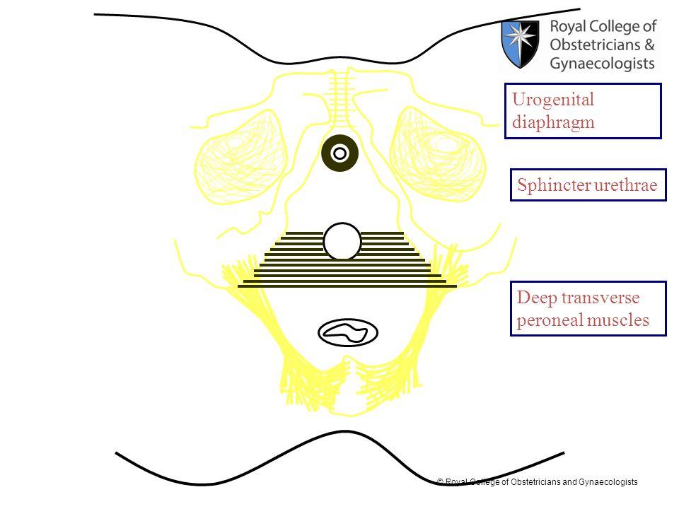 Urogenital diaphragm Sphincter urethrae Deep transverse peroneal muscles