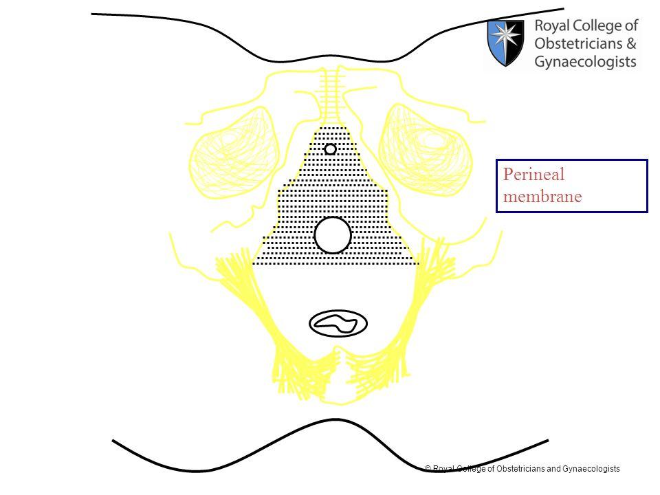 Perineal membrane