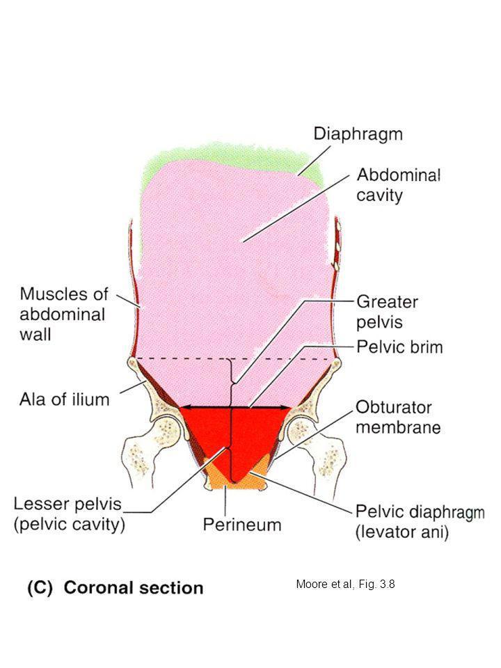 Inferior to pelvic diaphragm is the perineum