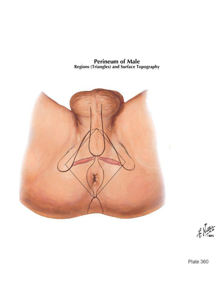 Urogential triangle – pubic symphysis to ischial tuberosities