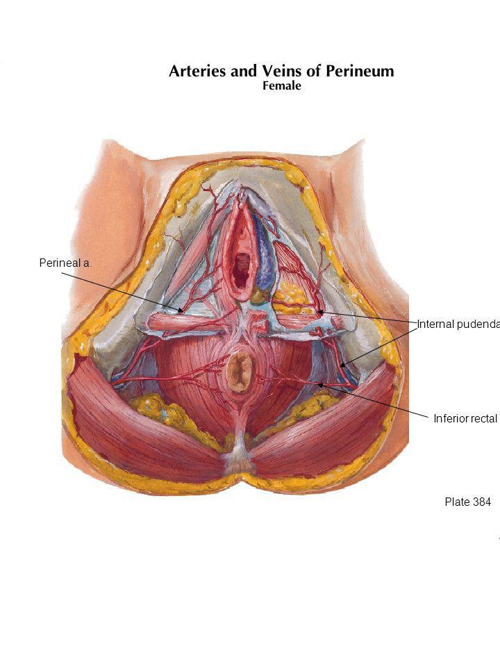 Perineal a. Internal pudendal a. Internal pudendal artery travels with the pudendal nerve.