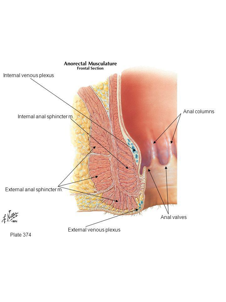 Internal venous plexus