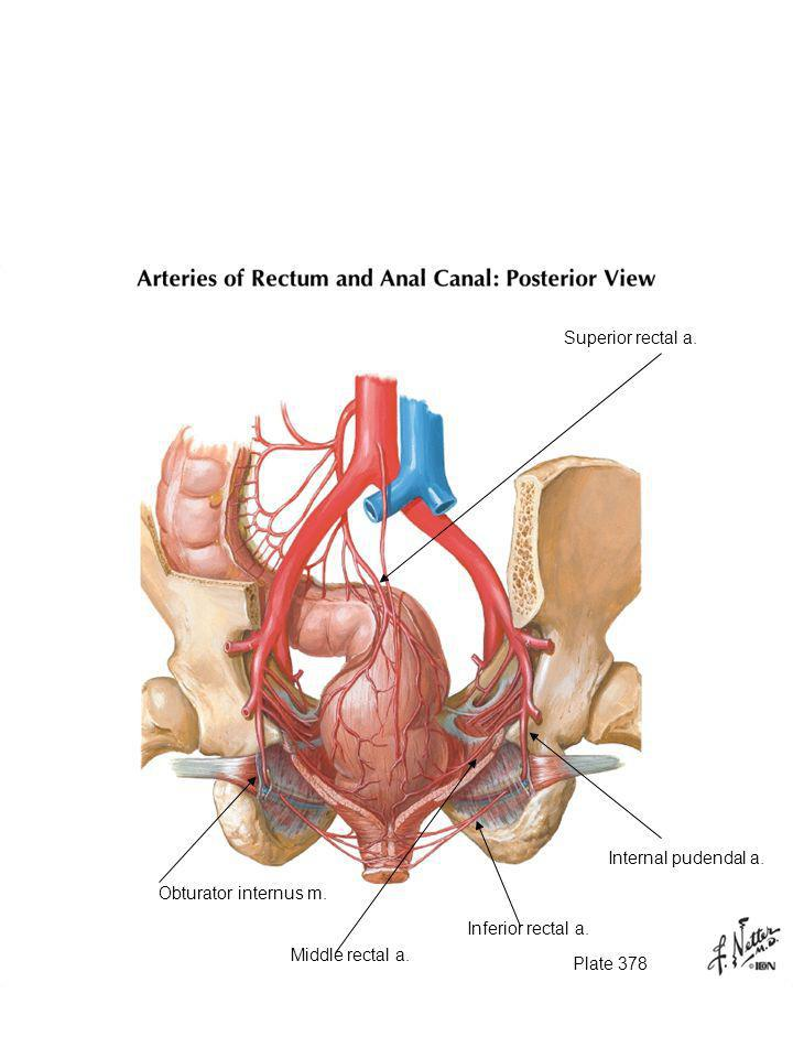 Superior rectal a. There are three anal canal arteries (that are called rectal arteries. Superior.