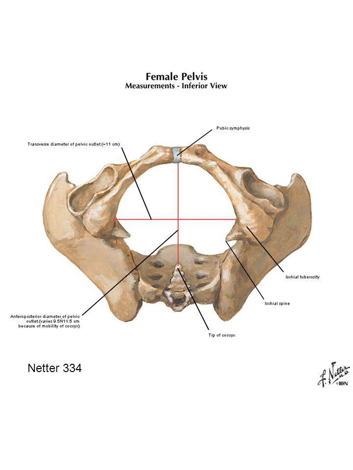 Netter 334 Inlet to true pelvis  pelvic brim