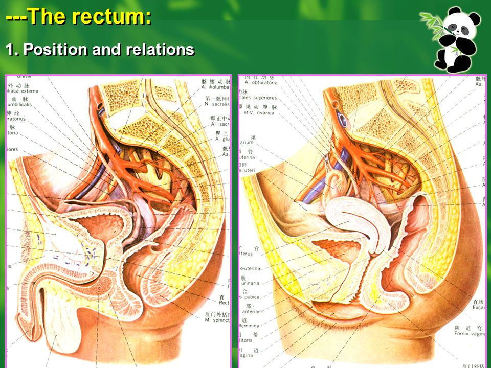---The rectum: 1. Position and relations