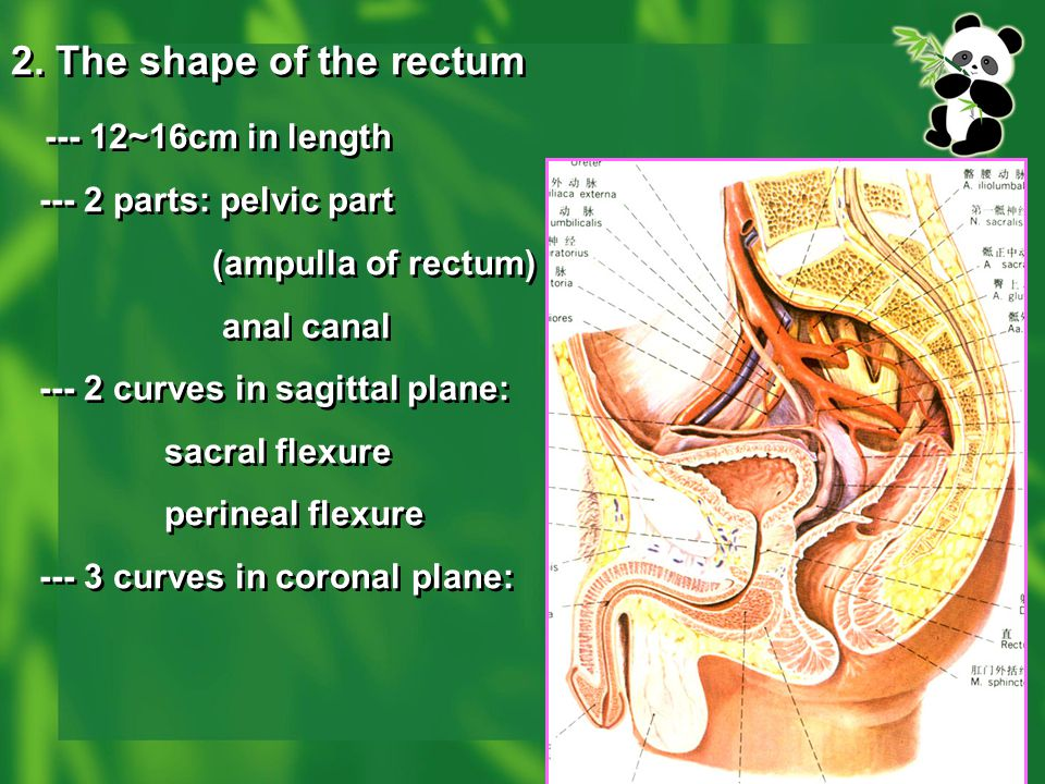 2. The shape of the rectum --- 12~16cm in length