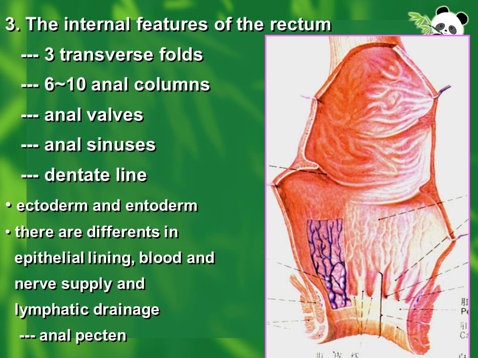 3. The internal features of the rectum transverse folds