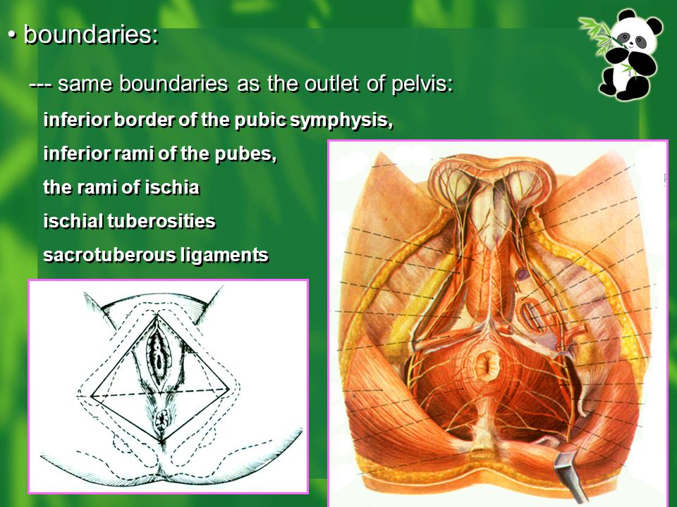 --- same boundaries as the outlet of pelvis: