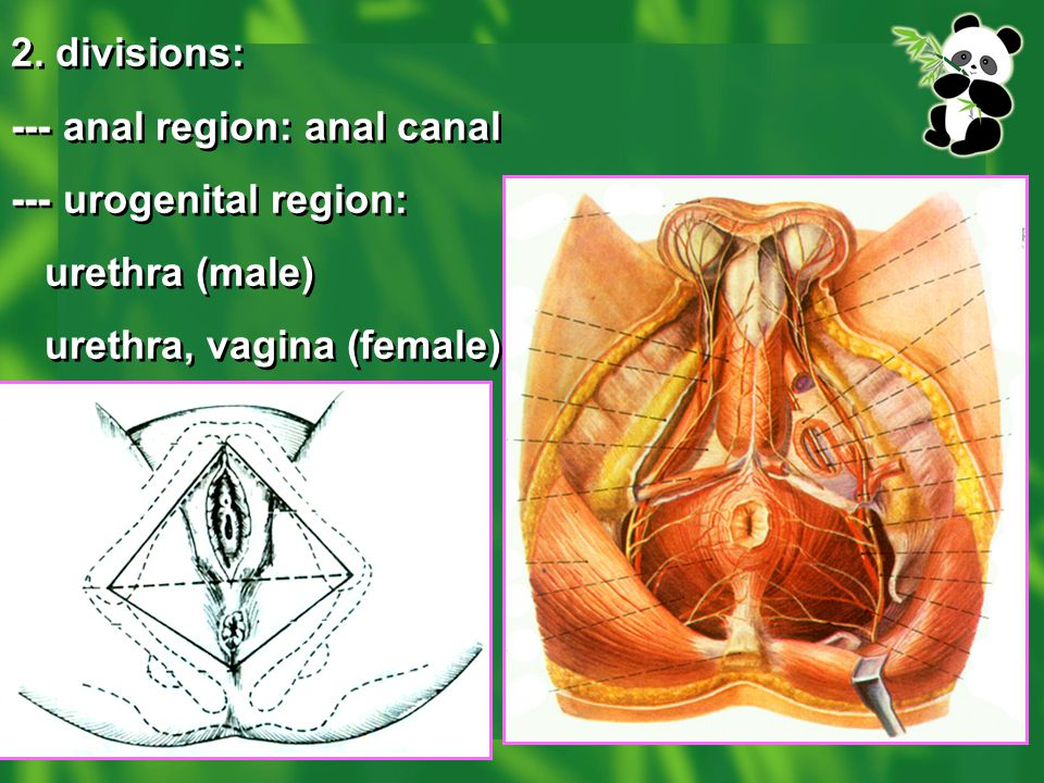 2. divisions: --- anal region: anal canal.