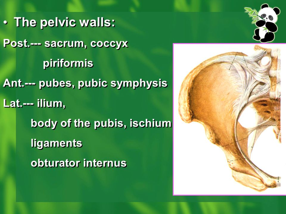 The pelvic walls: Post.--- sacrum, coccyx piriformis