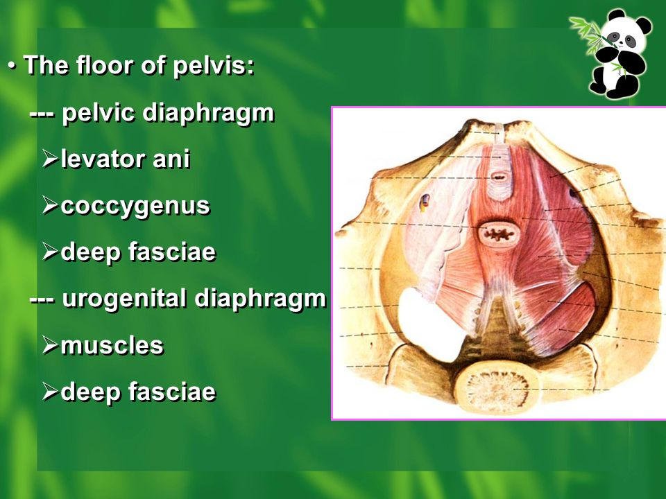 The floor of pelvis: --- pelvic diaphragm. levator ani. coccygenus. deep fasciae. --- urogenital diaphragm.