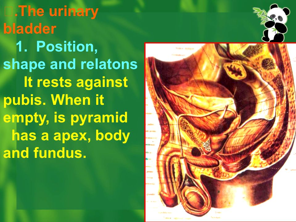 Ⅱ.The urinary bladder 1. Position, shape and relatons. It rests against pubis. When it empty, is pyramid.