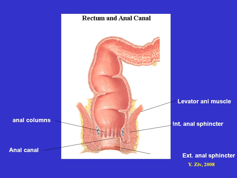Levator ani muscle anal columns Int. anal sphincter Anal canal Ext. anal sphincter