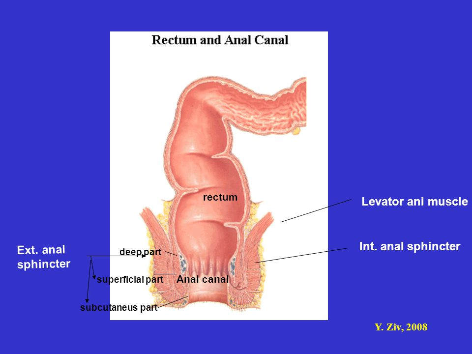 Levator ani muscle Int. anal sphincter Ext. anal sphincter rectum