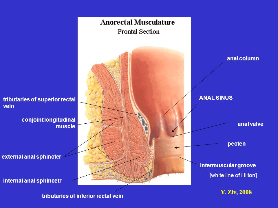 anal column tributaries of superior rectal vein. ANAL SINUS. conjoint longitudinal muscle. anal valve.