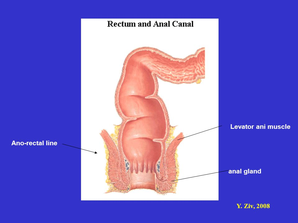 Levator ani muscle Ano-rectal line anal gland