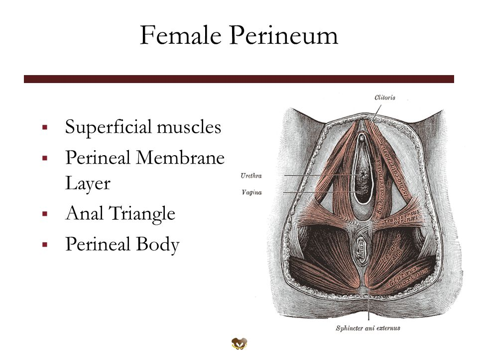 Female Perineum Superficial muscles Perineal Membrane Layer