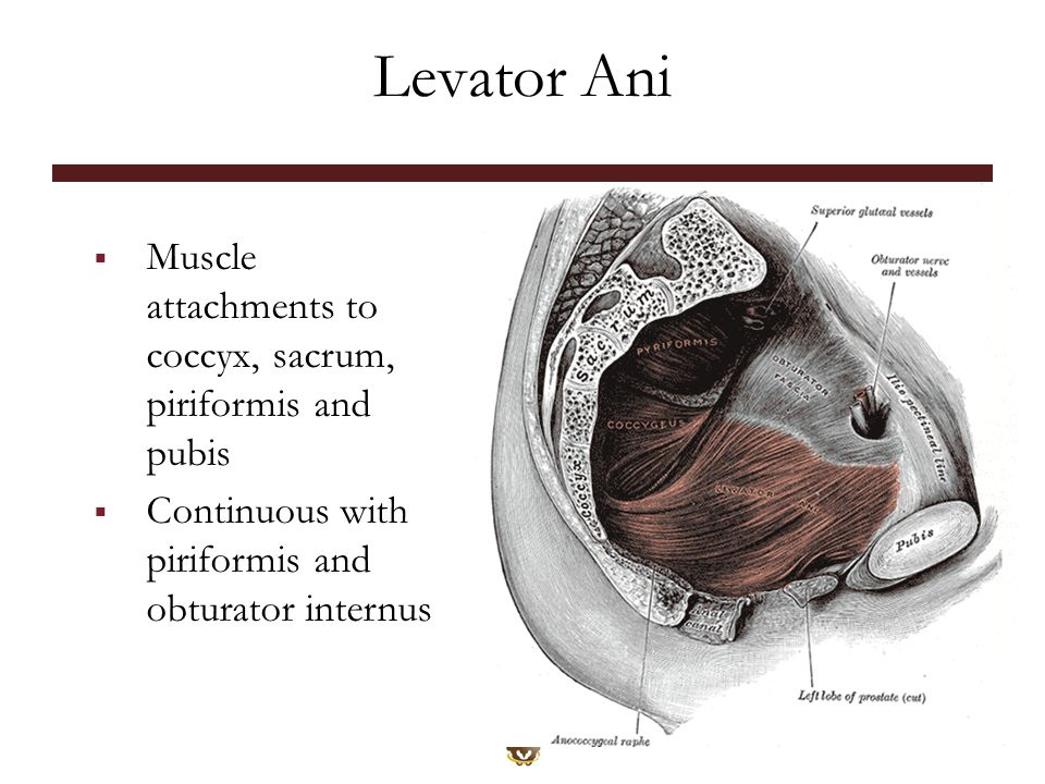 Levator Ani Muscle attachments to coccyx, sacrum, piriformis and pubis