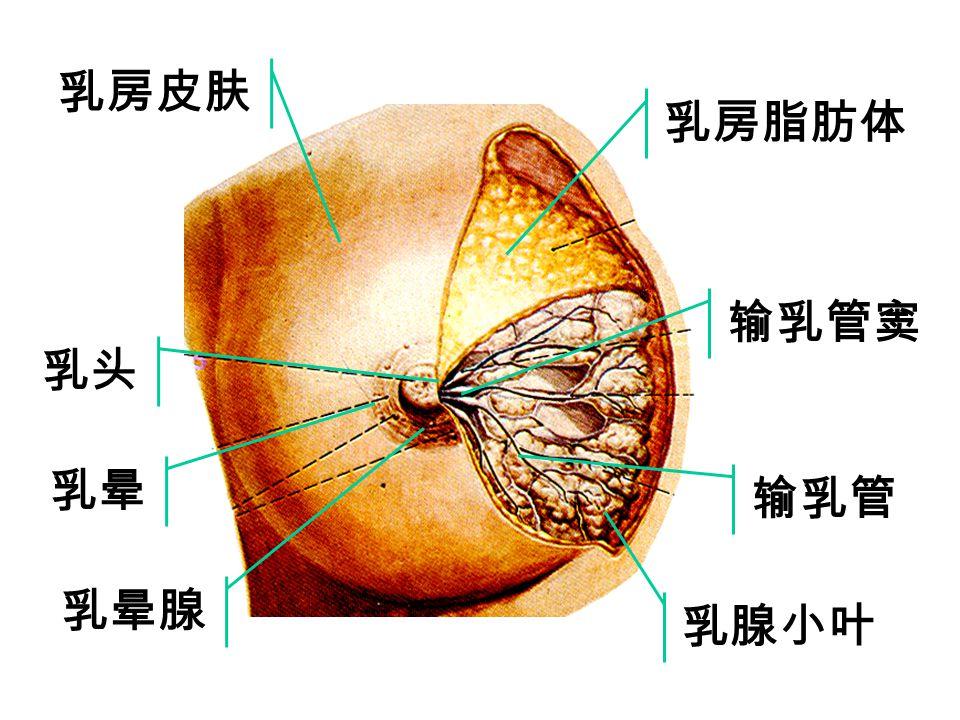乳房皮肤 乳房脂肪体 输乳管窦 乳头 乳晕 输乳管 乳晕腺 乳腺小叶