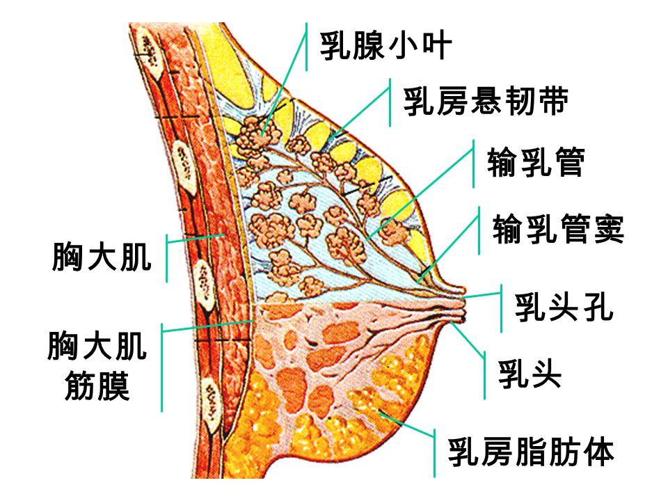 乳腺小叶 乳房悬韧带 输乳管 输乳管窦 胸大肌 乳头孔 胸大肌筋膜 乳头 乳房脂肪体