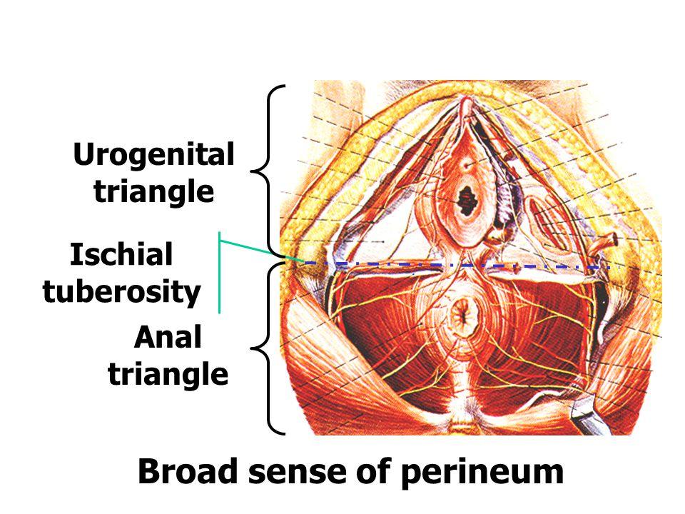 Broad sense of perineum