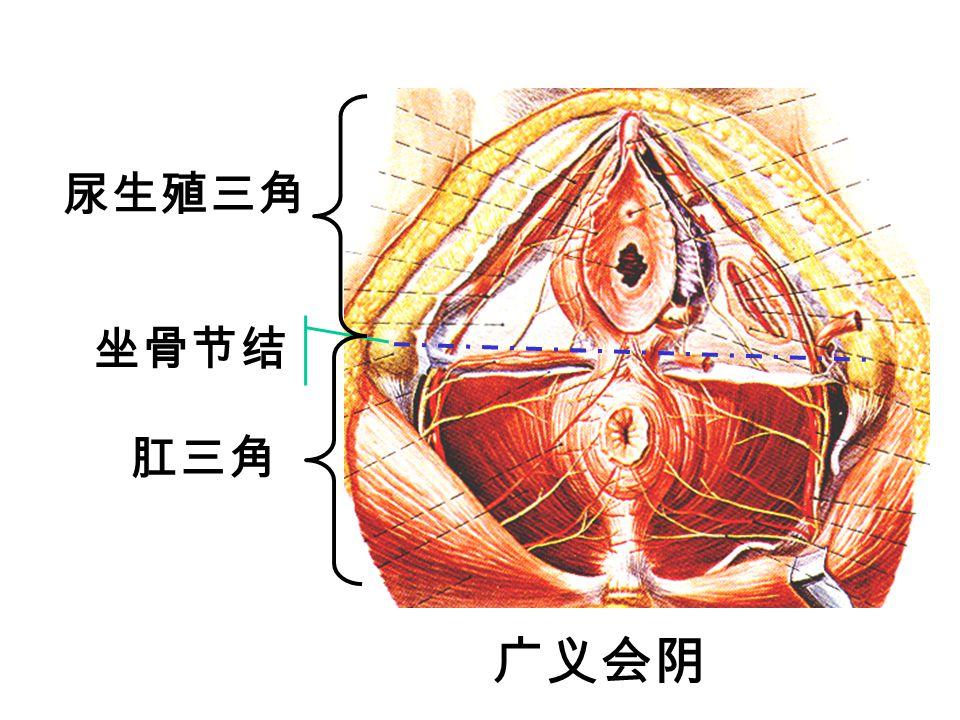 尿生殖三角 坐骨节结 肛三角 广义会阴