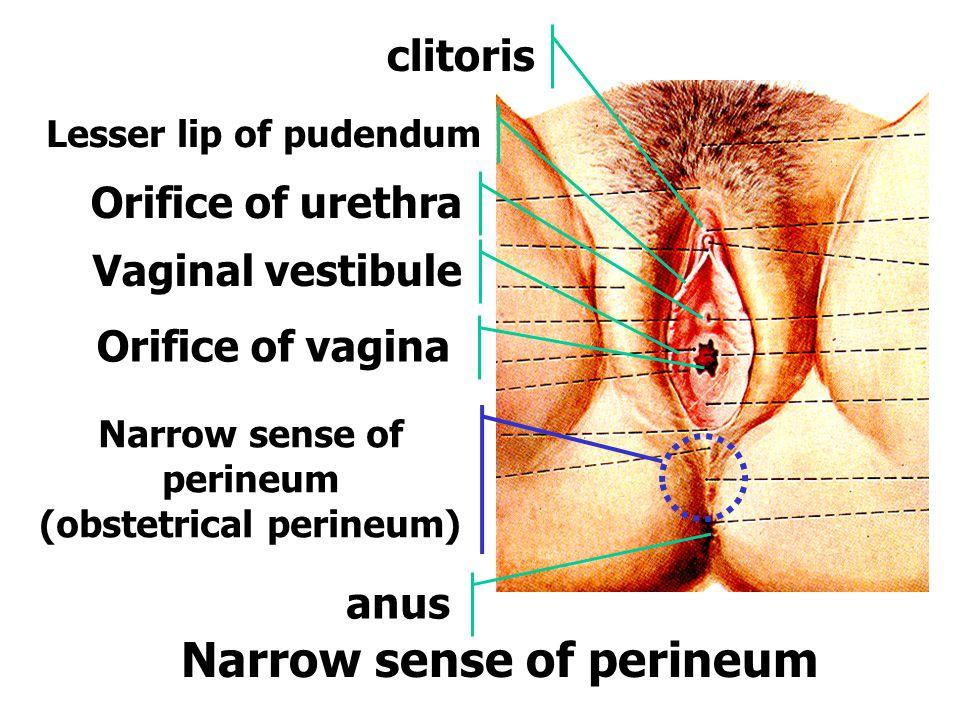 Narrow sense of perineum