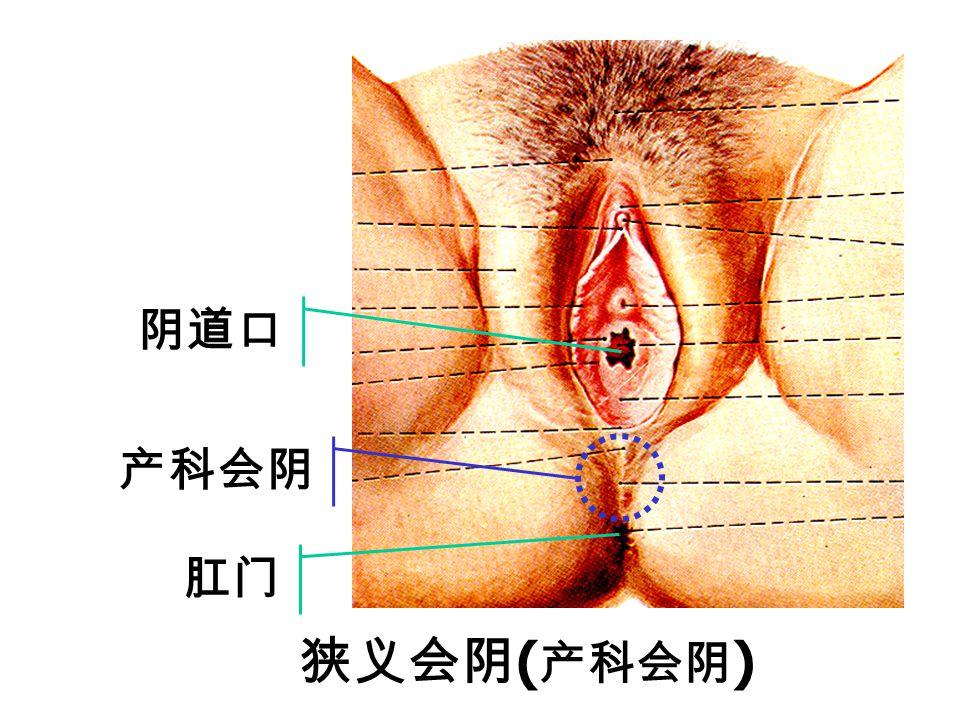 阴道口 产科会阴 肛门 狭义会阴(产科会阴)