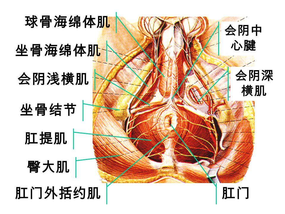 球骨海绵体肌 坐骨海绵体肌 会阴浅横肌 坐骨结节 肛提肌 臀大肌 肛门外括约肌 肛门